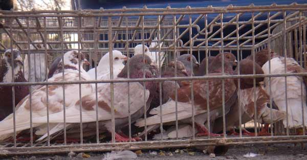 palomas1 Historia de la colombicultura en Murcia