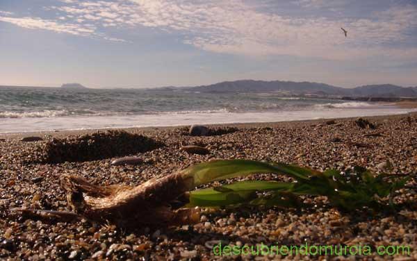 Cabo Cope desde Bolnuevo Posidonia y algas... ¿playas sucias o limpias?