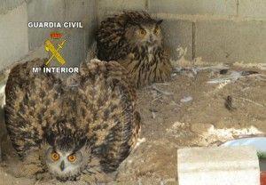 Guardia Civil rescata rapaces Archena 300x208 Rescatan varias aves rapaces en Archena