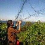 Anillamiento de aves en Isla Grosa por ANSE