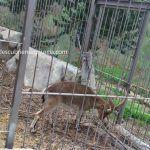 cabra-montesa