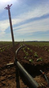 Huerta Region de Murcia 169x300 La Aniaga, como forma de organización agrícola