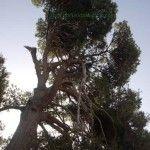 El pino de la Fuente del Algarrobo en Barinas