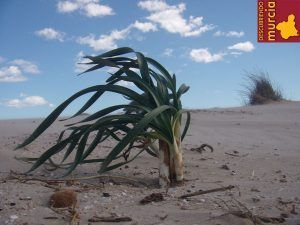 la llana dunas pinatar 300x225 La playa de La Llana en San Pedro del Pinatar, no existe