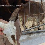 cabra-montesa-murcia