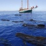 delfines-calderones-Murcia-ANSE