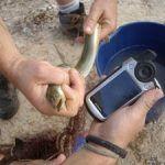 Anguila. Este escurridizo y misterioso animal reaparece en el río Segura