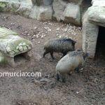 Cazando jabalíes en San Pedro del Pinatar