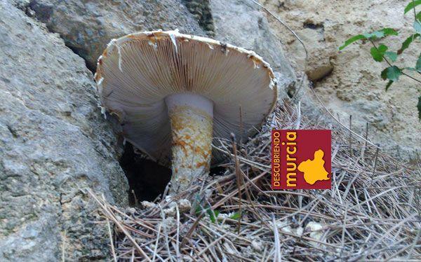 setas murcia 1 Comienza el periodo micológico en los montes murcianos