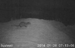 Nutria rio Segura Cazando jabalíes, zorros, nutrias... pero con la cámara de vídeo