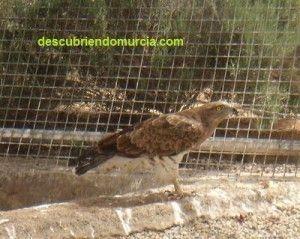 Aguila Culebrera Murcia 300x239 Águilas calzadas y culebreras por los cielos de Sierra Espuña