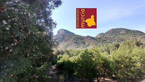 sabina mora cipres cartagena Proyecto LIFE Tetraclinis para proteger el Ciprés de Cartagena