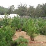 Árboles de navidad en el vivero de «El Valle»