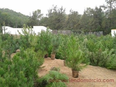 Vivero Forestal El Valle Árboles de navidad en el vivero de El Valle