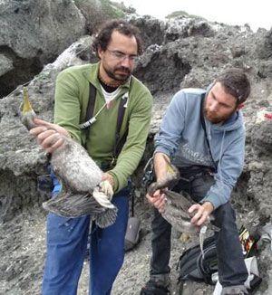 Cormoranes Cormoranes Moñudos del litoral murciano en Peligro Crítico