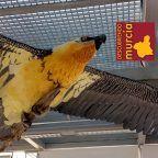 Un nido histórico de Quebrantahuesos en El Valle Murcia